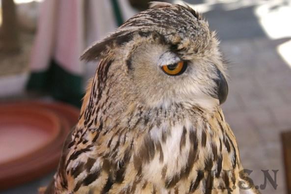 Es la mayor especie de las Strigiformes, de la familia Strigidae, el buho real (bubo bubo) es una ave salvaje y gran cazador nocturno, de mirada enigmática y de singular plumaje.